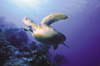 Schildkroete-bei-einem-Trauchgang-in-der-Karibik